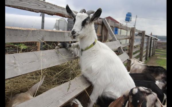 Отличить коз альпийской породы легко по поднятым ушкам