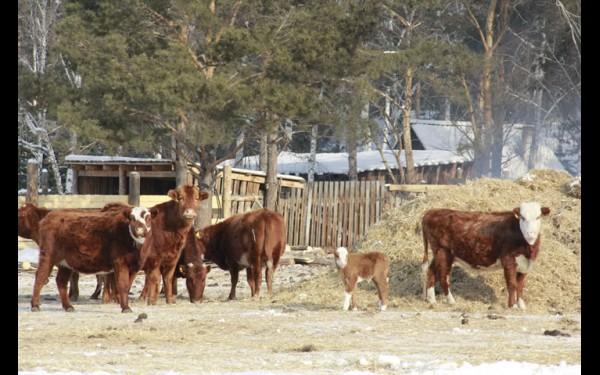 Калмыцкие коровы приспособлены к резко континентальному климату