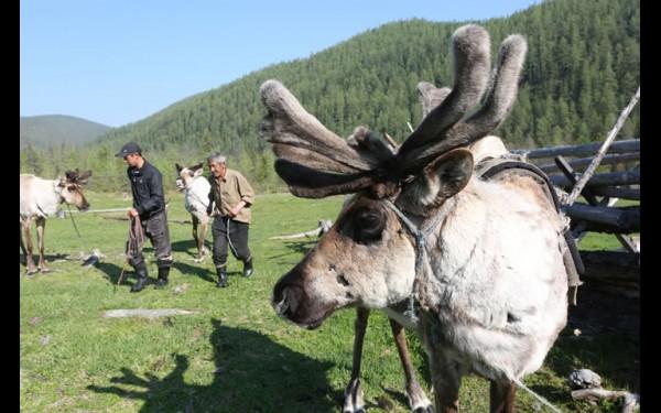 Один из основных видов деятельности коренного народа — оленеводство