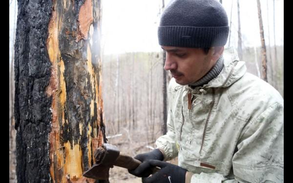Начальнику отдела дистанционных наблюдений Центра защиты леса Иркутской области Игорю Сумину даже искать вредителей не надо — они практически на каждом стволе