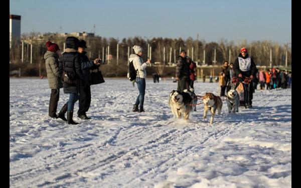 Основная часть гонки проходит ночью. Днем собака может так перегреться, что есть риск обезвоживания организма.