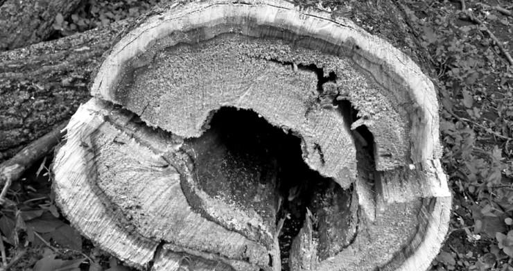 Вот так на срубе выглядит дерево, пораженное стволовой гнилью. Если не бороться с этим санитарными рубками, то соседние стволы усыхают, заражаясь через обломанные ветви, морозобойные трещины и кору. Зачастую пораженная древесина не годится даже на дрова, так как ее теплотворная способность резко снижается.