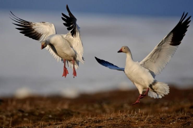 На о. Врангеля самая большая колония белых гусей в Азии. (Фото Сергея Горшкова.)