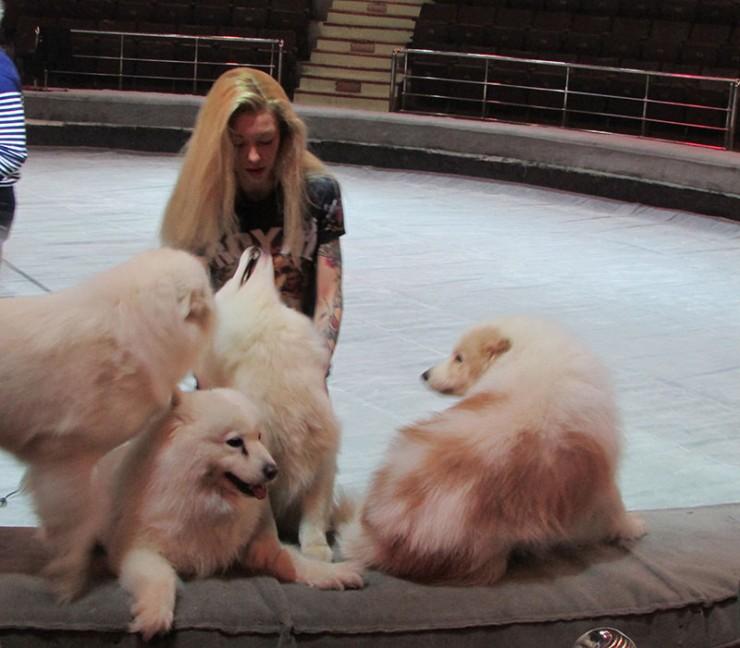 С представительницей знаменитой цирковой династии Екатериной Запашной на манеж одновременно выйдут сразу 23 собаки разных пород. Среди них — лайки-самоеды.