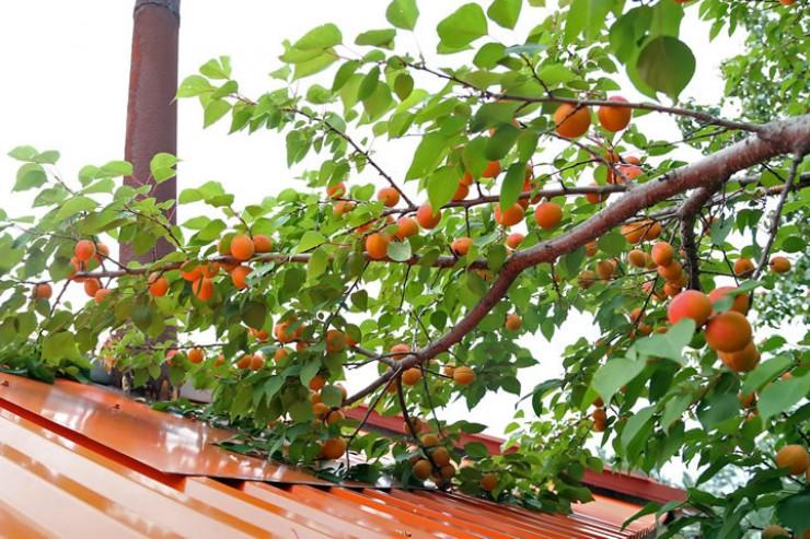 Когда урожай хороший, чтобы собрать весь, приходится и на соседскую крышу залезть.