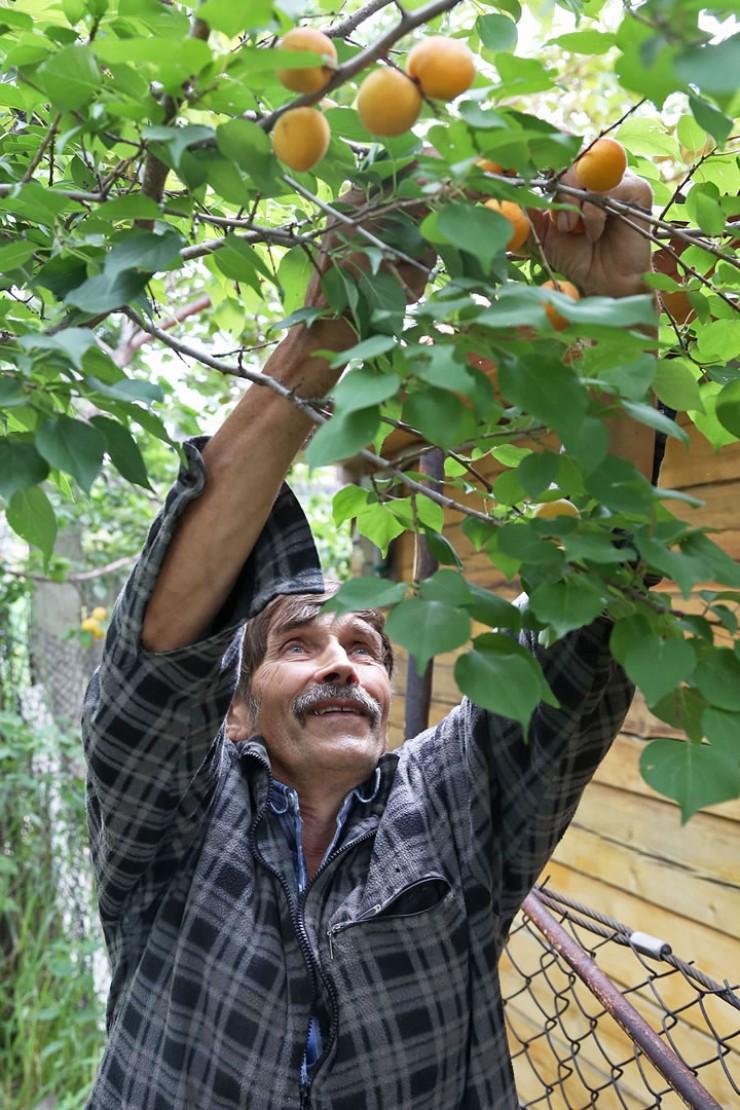 За два десятка лет, что Валерий Мальшаков занимается разведением абрикосов, он опытным путем среди плодовых культур отобрал основных фаворитов. Например, абрикос сорта Саянский.
