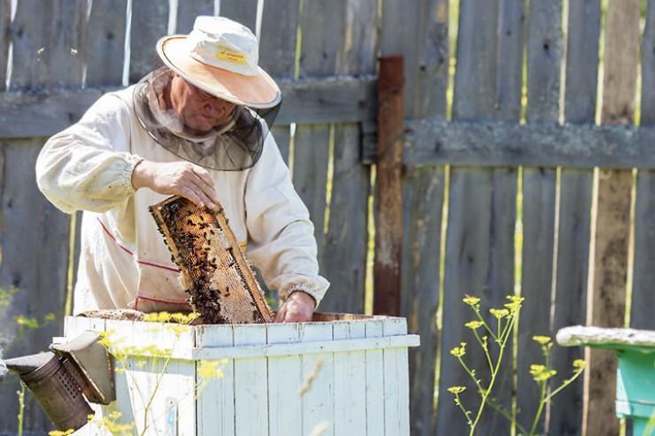 Непредсказуемый климат, скашивание полей вместе с летной пчелой, болезни насекомых — с такими трудностями приходится иметь дело местным пасечникам. По счастью, с непреодолимыми проблемами, связанными с массовым вымиранием пчел, наш регион не сталкивается на протяжении нескольких лет.