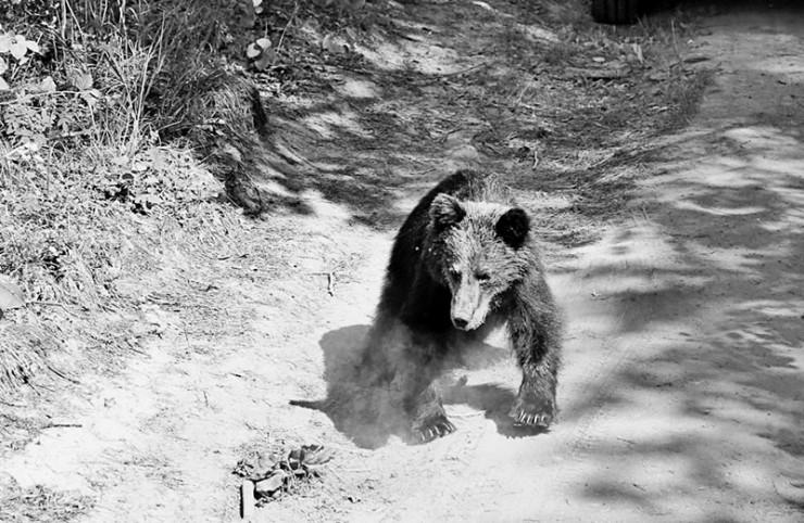 Этого медведя встретили возле мусорных контейнеров в Монахово (восточный берег Байкала). Он был настолько агрессивен, что ушел только после того, как выстрелили в землю перед самой его мордой.