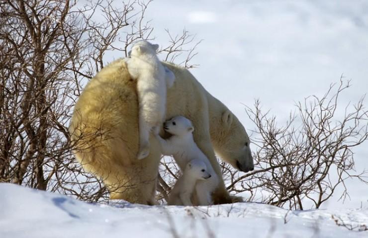 Эрик Бассега. «Белая медведица с медвежатами»