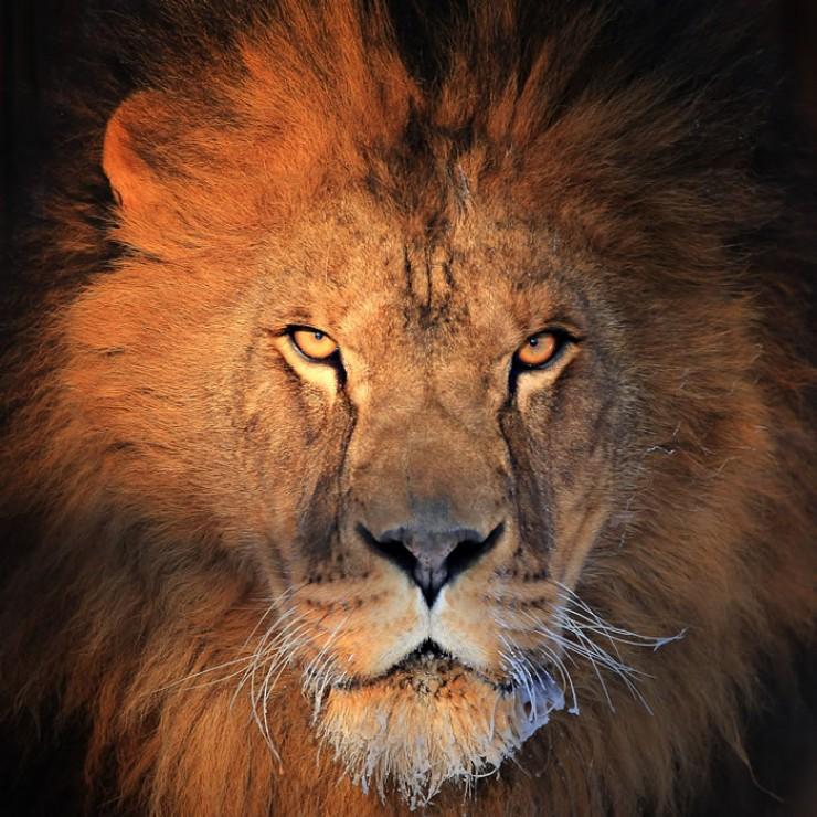 Портрет льва в барнаульской «Лесной сказке» сделал фотограф Евгений Доманов