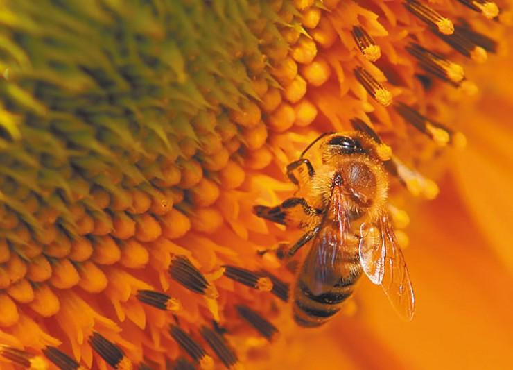 Из-за особенностей климата в Сибири пчёлы собирают не очень много нектара. Идеальным считается, если за день в улье появляется 6 кг мёда