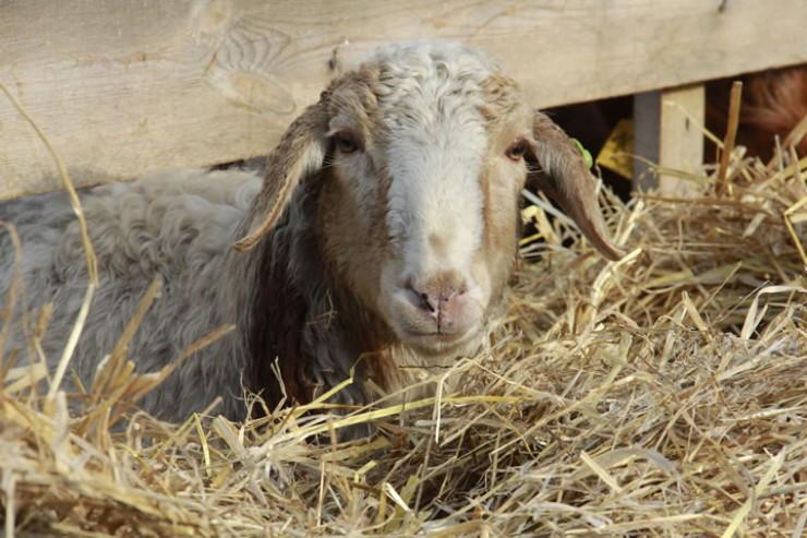 У овечек всегда полная кормушка