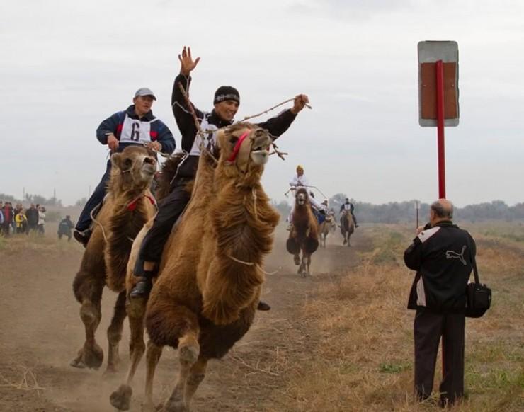 Во многих странах становятся весьма популярными верблюжьи бега