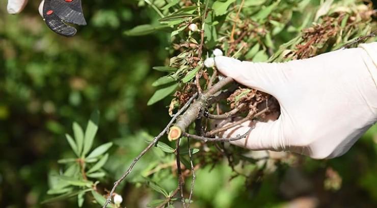 Ветви, пораженные монилиозом. Это видно на срезе