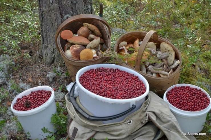 Для сбора ягод и грибов требуется особый подход