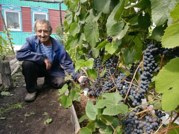 Петр Николаевич постоянно экспериментирует с сортами винограда и выявляет среди них сильнейших