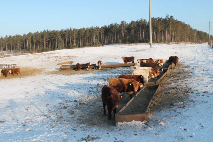 На ферме растят крупный рогатый скот мясной породы