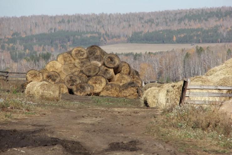 Корма в этом году заготовили хорошие, часть собрали в Боханском районе, а часть на островах Усольского района. Запасов хватит и на все большое — в 700 голов — стадо, и на продажу.