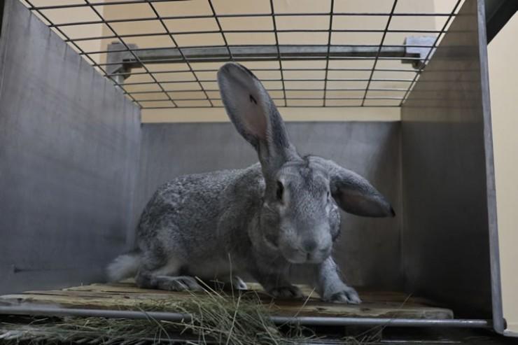 Кролик № 1 получает повышенное количество холестерина, чтобы за пару месяцев  у него сформировался атеросклероз