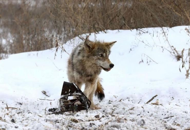 Из-за запретов на охоту препаратами, капканами и петлями волк давно не представляет интереса для промысловиков, охота на него невыгодна. Некоторые специалисты считают, что на время капканы нужно вернуть. Фото © mvestnik.ru