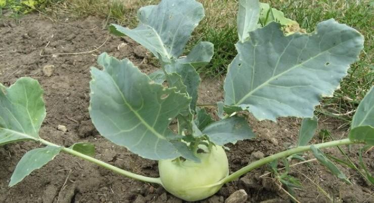 При помощи кольраби также можно уплотнять ряды поздней белокочанной капусты
