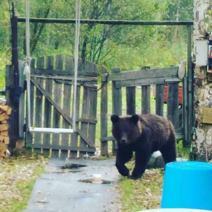 К отшельникам пришел молодой медведь. Еще совсем недавно он ходил под присмотром мамы, а после изгнания в самостоятельную жизнь не успел понять, что людей и собак надо избегать.