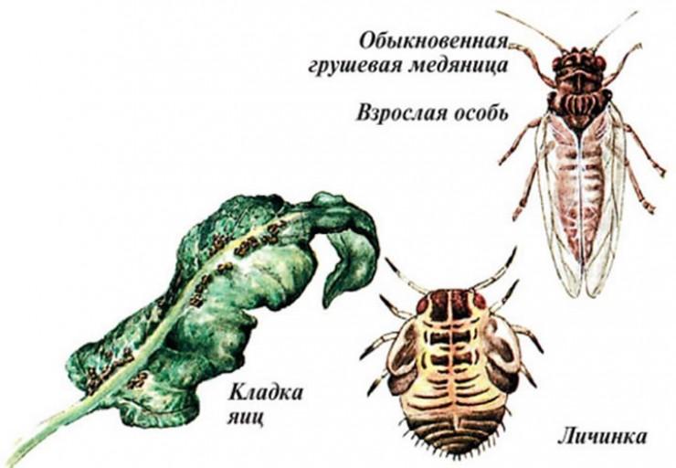 Небольшая мушка с красивым, поэтичным названием медяница за два-три года может уничтожить большое, пышущее здоровьем плодовое дерево.
