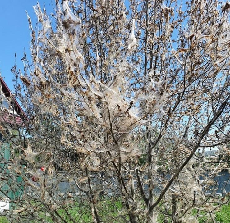 В 2014 году от этого вредителя пострадали все яблони в Иркутске