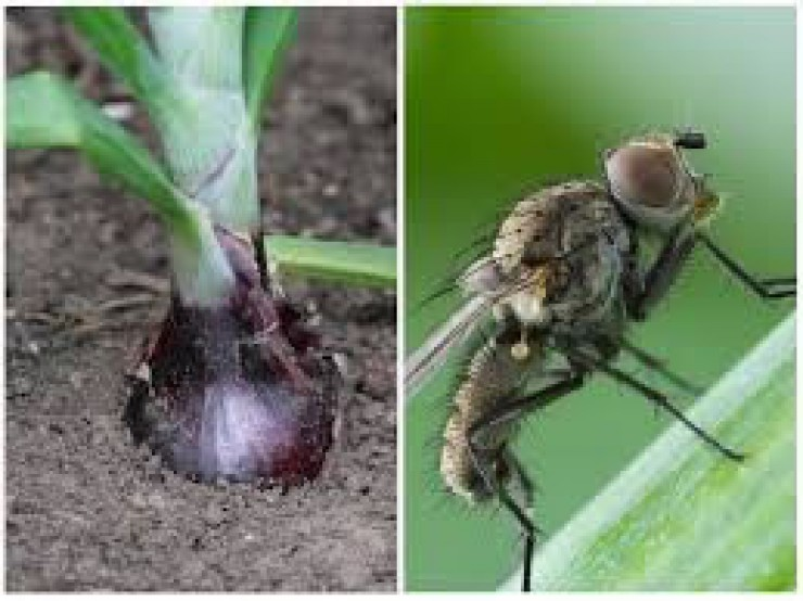 Мухи маленькие, личинки зачастую у них еще меньше, а вот вреда они приносят столько, что можно лишиться всего урожая.