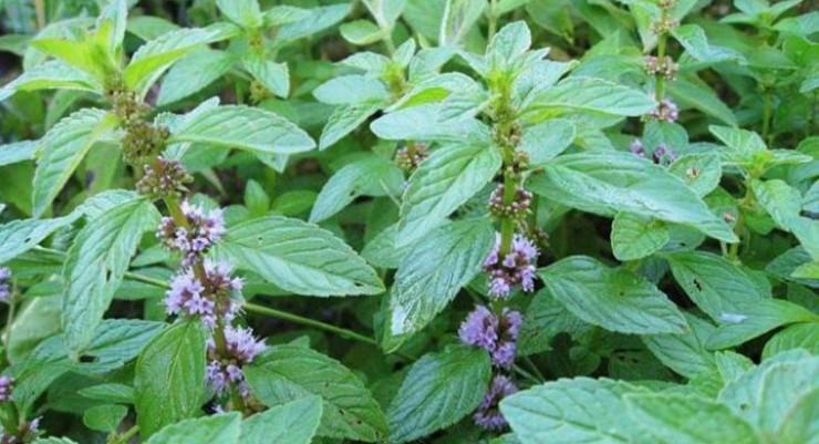 Стебли у всех разновидностей мяты достаточно мясистые, сохнут долго. Но больше всего полезных веществ содержится в листьях.