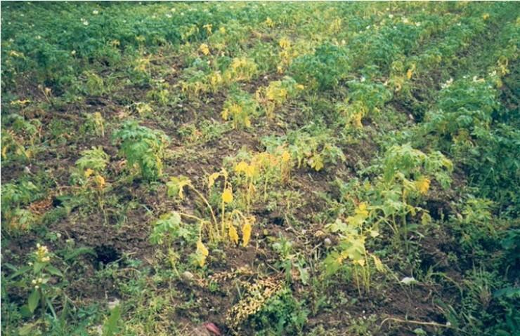 Зараженные нематодой посадки картофеля.