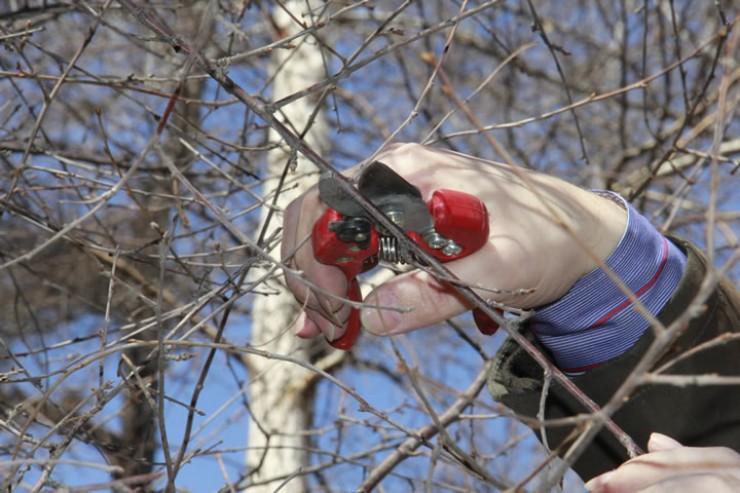 Омолаживающая обрезка помогает деревьям восстановиться