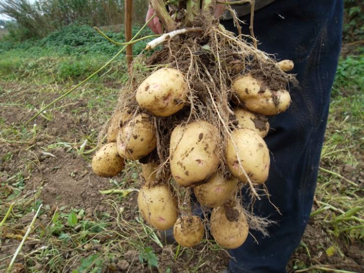 Каждый хоть раз в жизни видел клубень, на котором есть немного ростков и крохотные клубеньки. Это точный признак вырождения картофеля.