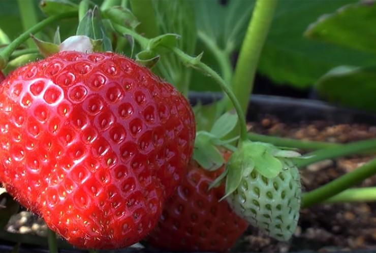 Ремонтантная земляника отличается от простых сортов тем, что за сезон она способна плодоносить несколько раз.