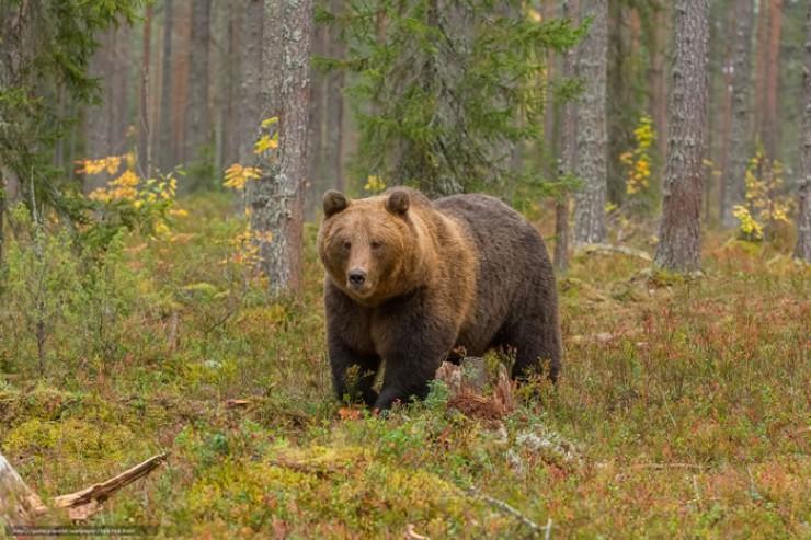 Медведи ломают изгороди, выламывают двери для того, чтобы проникнуть на ферму за добычей.