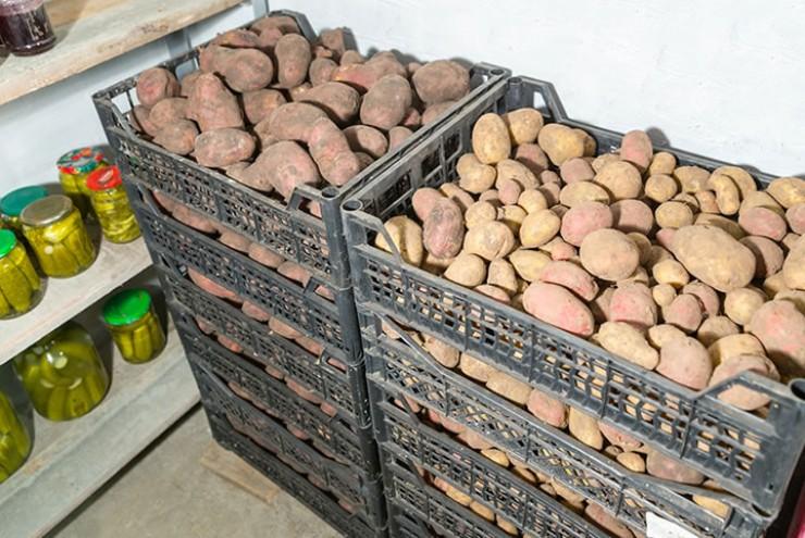 Лучше всего картофель хранится в ящиках вместимостью 3—4 стандартных ведра. Если корнеплода много и он хранится насыпью, то толщина слоя клубней в картофельных отсеках должна быть не более 1,5 м.