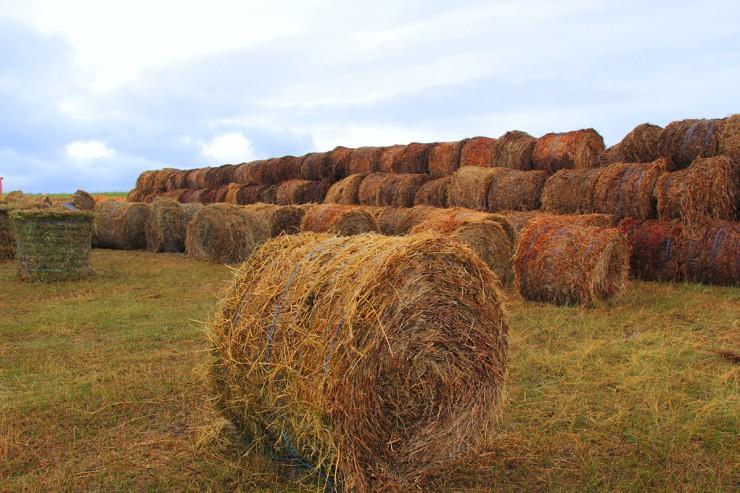 Это фото сделано в Осинском районе. Некоторым фермерам все же повезло — дожди периодически шли и удалось заготовить корма на зиму