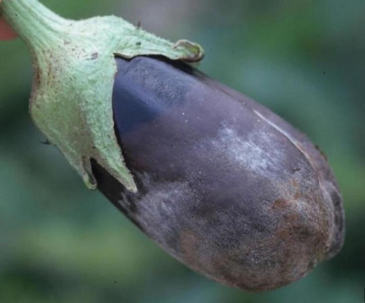 При высокой влажности и пониженной температуре серая гниль быстро поражает плоды и междоузлия растений