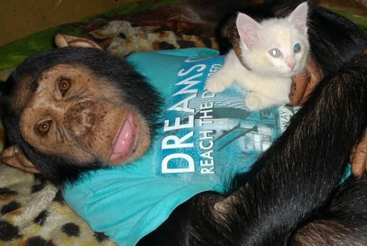 Звезда зоогалереи — шимпанзе Лея —  с «усыновлённым» котёнком
