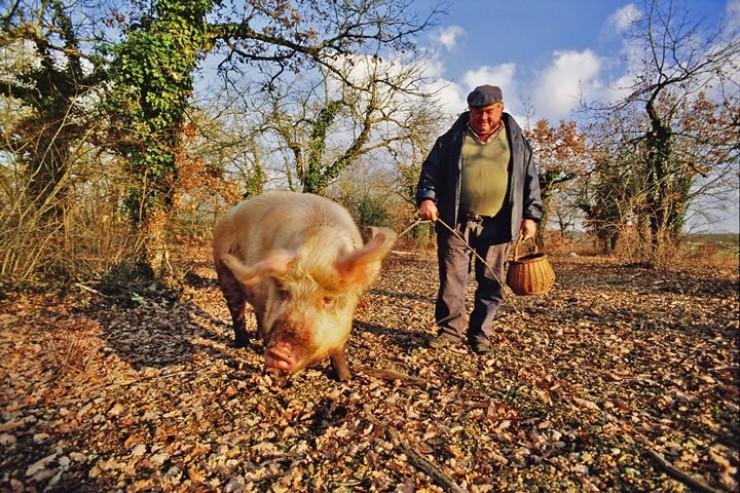 Особенность этого гриба в том, что он растет под землей и найти его совсем не просто. Для этого используют специально обученных животных. Например, трюфельную свинью. Эта специально обученная домашняя свинья имеет хорошее обоняние и способна чувствовать запах трюфелей на глубине до одного метра.
