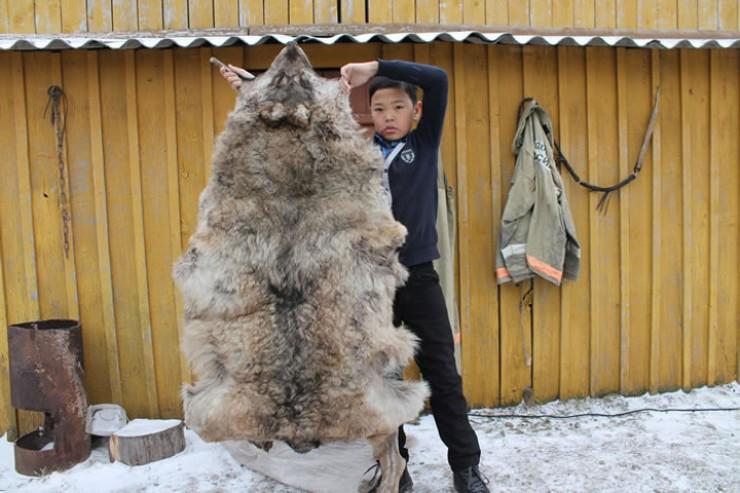 Два года назад в Нукутском  районе удалось застрелить одного матерого волка. Однако охотники считают, что это, скорее, счастливый случай.