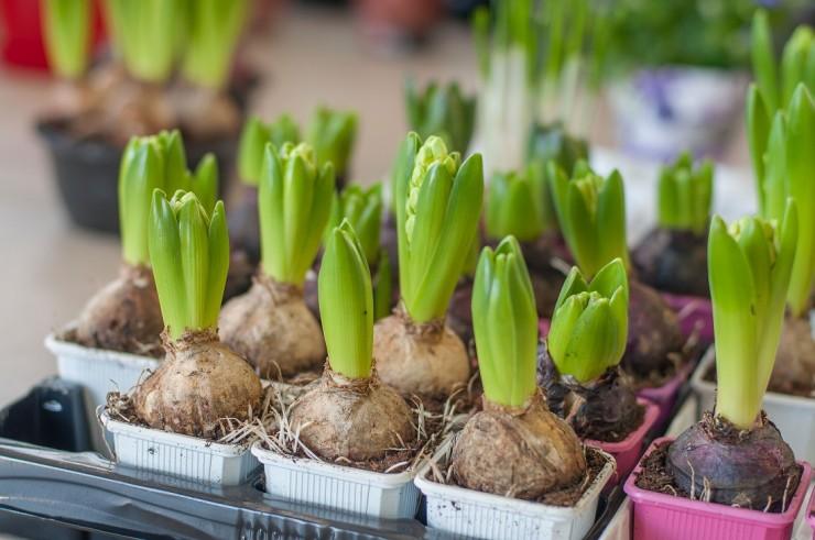 Самый популярный цветок для выгонки — гиацинт, но можно проращивать и другие луковицы.