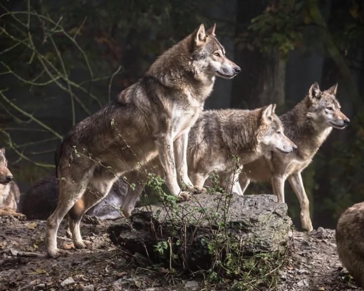 Численность волков стремительно растет. Осенью их стаи увеличатся в разы за счет молодого поголовья