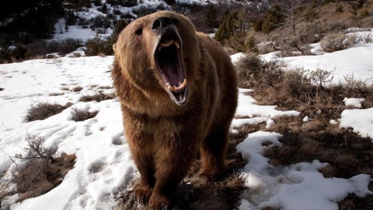 Медведи-шатуны особенно опасны — звери сходят с ума от голода и нападают на жертву молниеносно.