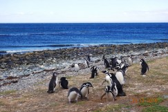 Этих магеллановых пингвинов Владислав сфотографировал на побережье Патагонии (южная оконечность Чили). Взрослые особи достигают роста 70—80 см и веса 5—6 кг. Они меньше императорских пингвинов, предпочитают более умеренный климат и в самой Антарктиде не живут