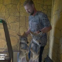 Волки — любимые и ручные звери Вадима Ивушкина: наверное, он единственный, кто может взять вот так, за шкирку, хищника и отнести в переноску