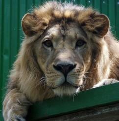 Гоша — пожилой лев с непростыми диагнозом «панкреатит»