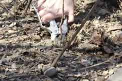 Молодую поросль возле ствола удаляют ранней весной и во время второго сокодвижения — в июле