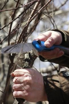 Если на ветке ещё не набухают почки, можно провести основную обрезку, то есть срезать живую ветвь. В этом случае срез «на кольцо» проводят только при полном удалении ветви или однолетнего побега