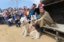 Собаки хаски за время войны вывезли с поля боя 700 тысяч раненых. Вот и на иркутском полигоне во время реконструкции боя проявили себя как настоящие герои.